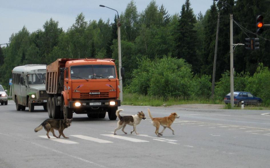 собака переходит дорогу